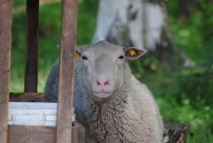 Sonstiges Schafe 01 a.h.