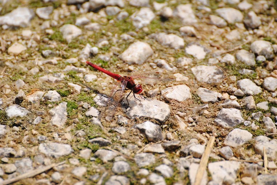 Feuerlibelle Männchen - Copyright A. Hakala
