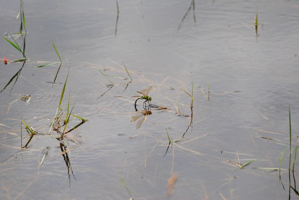 Grosse Königslibelle bei der Eierablage - Copyright A. Hakala