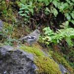 Junger Buchfink- Copyright A. Hakala
