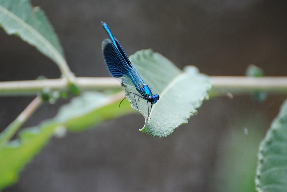 Blauflügel-Prachtlibelle - Copyright A. Hakala