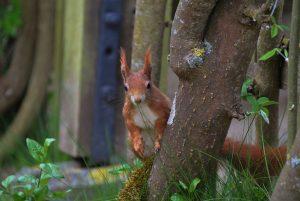 Eichhörnchen - Gopyright A. Hakala