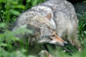 Wolf- Copyright A. Hakala
