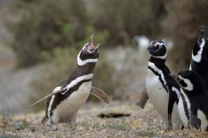 Magellan Pinguin - Copyright A. Hakala